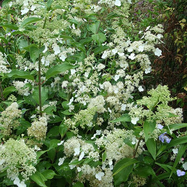 18 best images about pee gee hydrangeas on pinterest white flowers hedges and shrubs. Black Bedroom Furniture Sets. Home Design Ideas