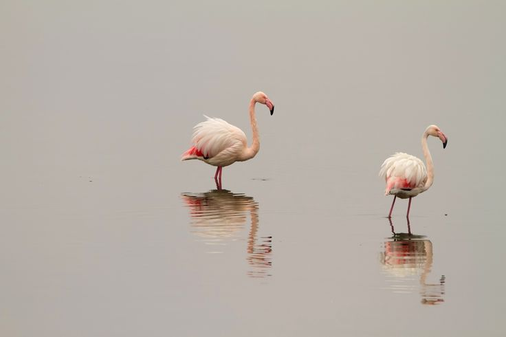 Flamingos in the lake of Messolongi