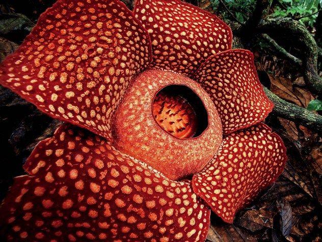 Corpse Flower Corpse Flower Endangered Plants Large Flowers