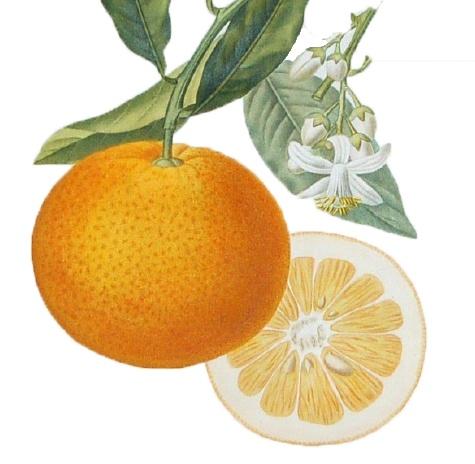 34 best images about Citrus & Pear on Pinterest ...