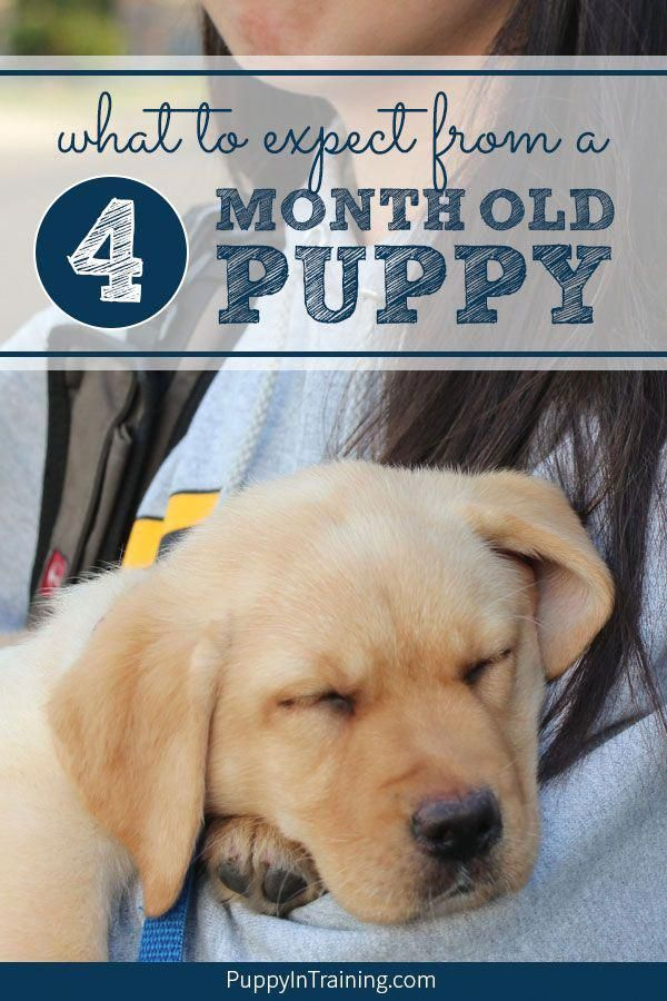 What Should Your Puppy Know At 4 Months Of Age Puppies Best