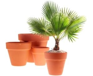 windmill palm tree, palm house plants