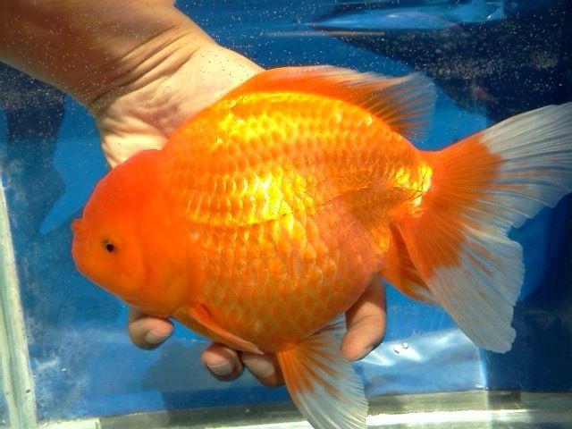 Oranda Gold Fish 30