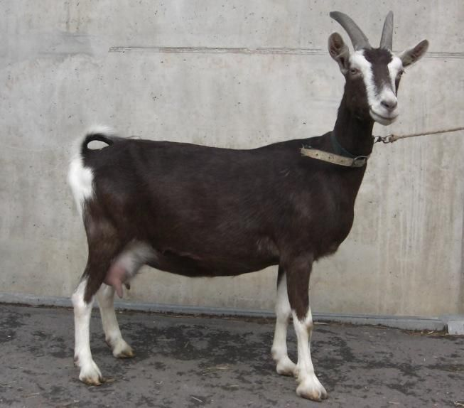 Thuringer Wald Ziege1 With Images Goats Animals Rare Breed