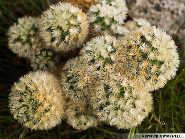 mammilaire mammillaria carmenae cactus et succulentes. Black Bedroom Furniture Sets. Home Design Ideas