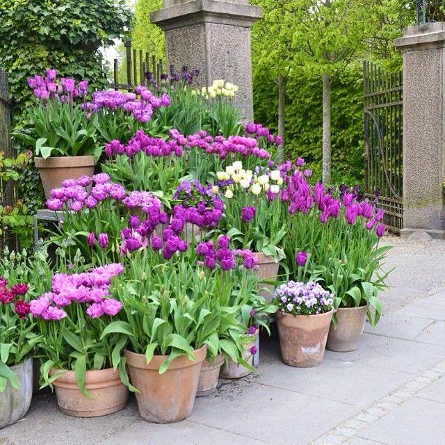 Løg i krukker ved porten #clausdalby #flowers #blomster