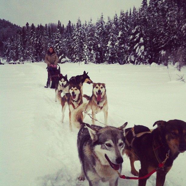 Traîneau à chien chiens de traineau  mont saint sauveur canada