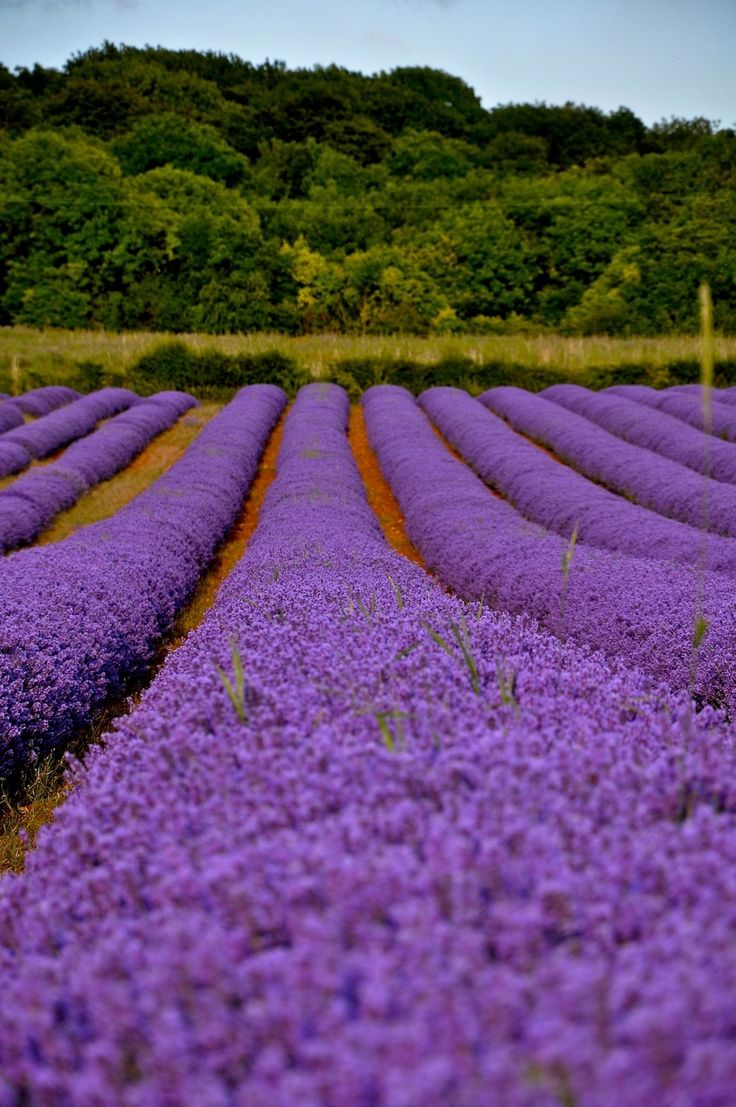 Norfolk Lavender Fields near Heacham, England | 16 Places You'll Hardly Believe Are In The United Kingdom