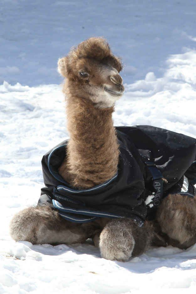 """This baby camel wearing a snow coat. 