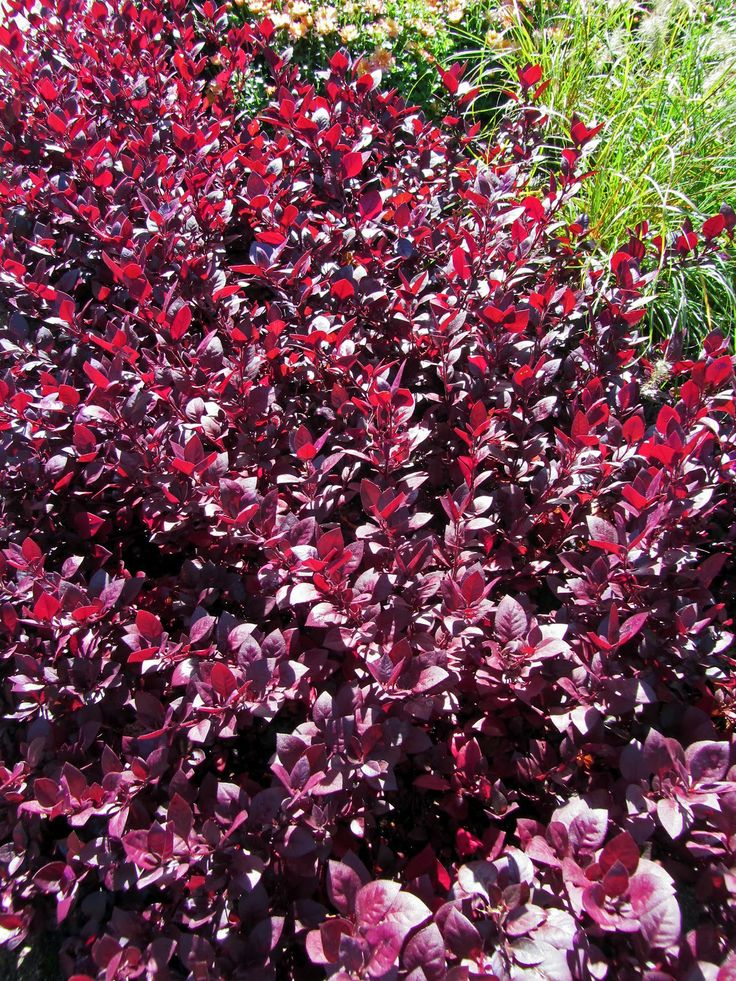1000 Images About Ground Cover On Pinterest Leaves