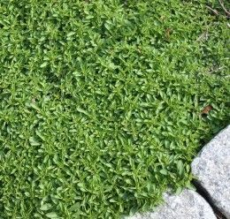 Red Creeping Thyme, Groundcover For Dry, Full-Sun Areas    Red creeping thyme (Thymus serpyllum coccineus ) is a heat-tolerant, drought-tolerant ground cover that grows in zones 3 to 9. It likes full sun and grows close to the ground at only two to four-inches tall. It's deer-resistant, too.