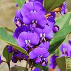 HOVEA. Found in the Karri forests of Western Australia. Attractive shrub 3m in hieght and 2m in width.Elliptical leaves 80mm in lenght, flowering in spring producing a mass of violet/deep blue flowers.    Flowers for 3 months or more. Grows easy from seeds soaked in hot water.