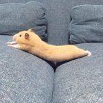 ソファの上で反り返ったハムスターがぬいぐるみのようにかわいい「きなこ棒みたい」 - Togetterまとめ