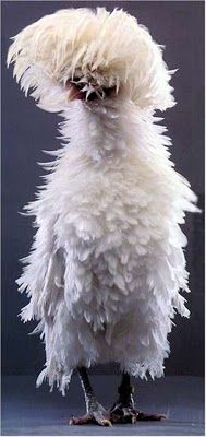 Frizzle chicken...makes me giggle
