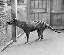 tigre de tasmanie ou thylacine.Depuis 1936, l'espèce est considérée comme éteinte.