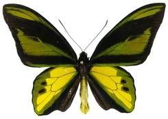 kupu-kupu langka | Ornithoptera chimaera (Kupu sayap burung peri) - SeranggaSayapSisik