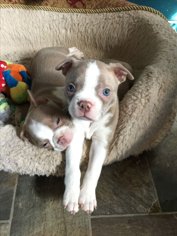 Champagne colored Boston terriers ❤️ our dog Jax and his sister