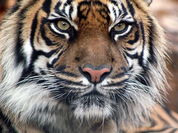 tigers | Tigers | Animal Wallpapers | Wild Animal | Facts | Videos | Animals ...