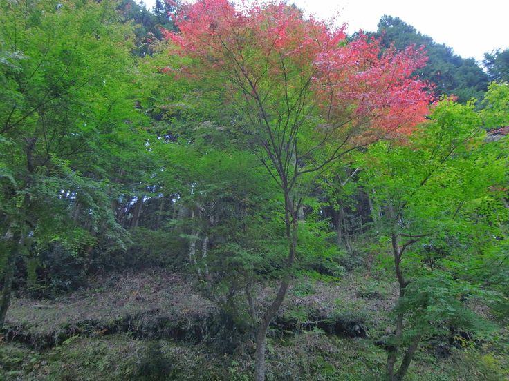 度々行きたい旅。: 京都観光:大原・紅葉色づき情報♪