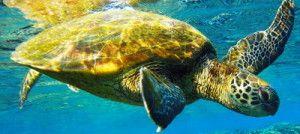 turtleswim - Hawaii Turtle Tours