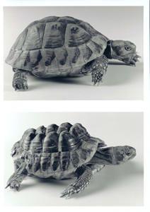 Maintenance des tortues terrestres