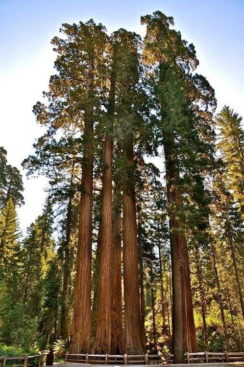 Giant Sequoias & Redwood Trees Pictures | Redwood & Sequoia National Parks...... #Relax more with healing sounds: