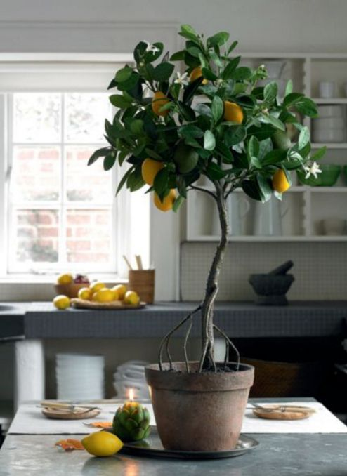*Indoor Lemon Tree* Put your green thumb to use all year with indoor plants!