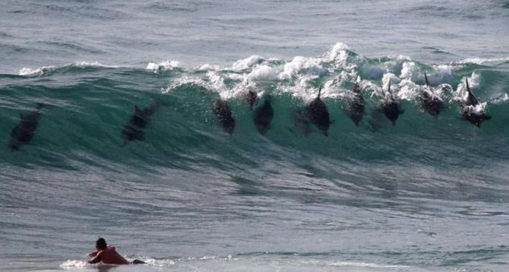 Dolphins catching a wave in Manly Beach.