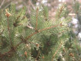 Die Fichte ist ein weitverbreiteter Nadelbaum, der in vielen Gegenden als Holzlieferant gezüchtet wird. Seine zarten jungen Triebe, die deutlich an ihrer helleren Farbe zu erkennen sind, können als Heilmittel verwendet werden.