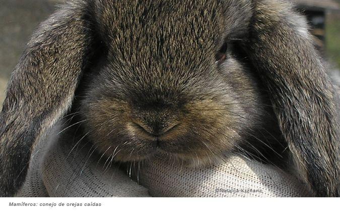 Mamíferos: conejo de orejas caídas.