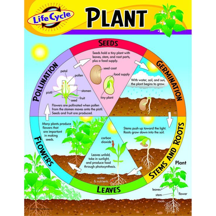 """Learn about the life cycle stages of a plant. Back of chart features reproducible sheets, activities, and helpful teaching tips. 17"""" x 22"""" classroom size."""