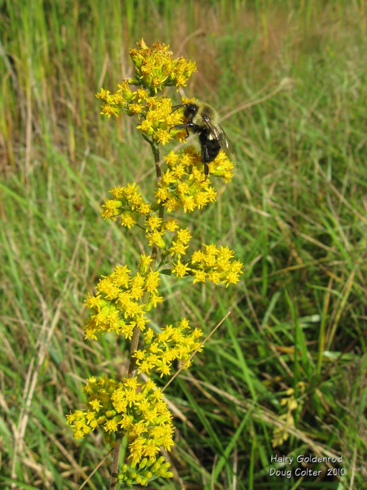 Hairy goldenrod (Solidago hispida) • Family: Aster (Asteraceae)  • Habitat: woods, open fields • Height: 1-3 feet • Stem: Obviously hairy/downy. • Flower size: flowerheads approximately 1/8 inch across • Flower color: yellow • Flowering time: July to September • Photo by Doug Colter