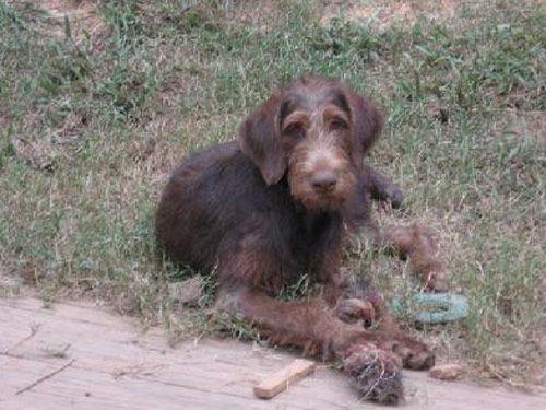 Mix Doberman Puppies Poodle