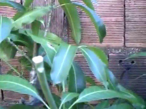 Germine sementes de Manga do jeito mais fácil do mundo! - YouTube