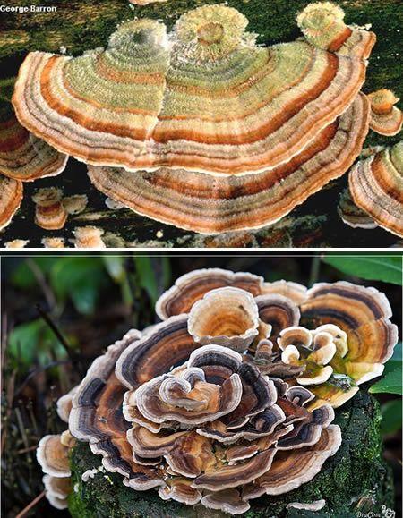 Rabo de peru - Trametes versicolor é o nome científico do rabo de peru, porém seu apelido é mais descritivo. Ele aparece em florestas, acoplados a árvores e sempre em grupos.