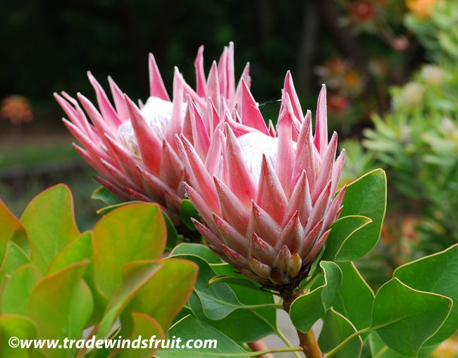 protea cynaroides - south african national flower