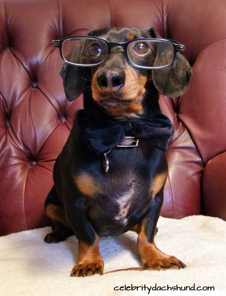 Wiener Dog Nationals Movie Review by Crusoe the Celebrity Dachshund. :)