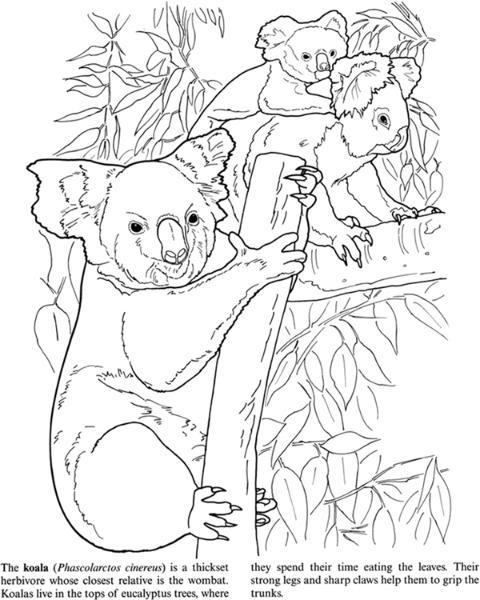 Nature Koalas Image By Tharens