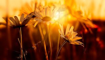 DAISIES AND THE MAGIC OF LIGHT, HOLYWELL DENE, NORTHUMBERLAND, ENGLAND
