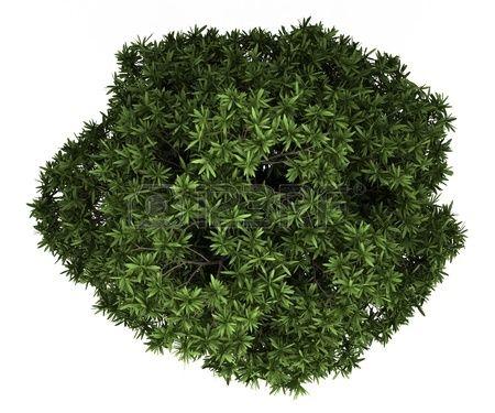 op vue de la gomme sans sucre arbre isol sur fond blanc banque d 39 images c y xanh pinterest. Black Bedroom Furniture Sets. Home Design Ideas