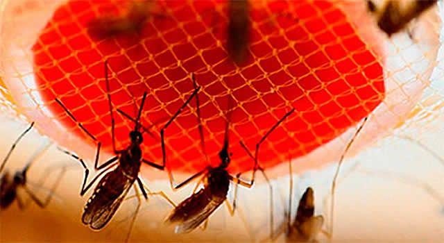 Entender como o conjunto de bactérias que coloniza o intestino do Aedes aegypti influencia a suscetibilidade do mosquito ao vírus da dengue é o objetivo de uma pesquisa conduzida na UNESP, campus de Botucatu