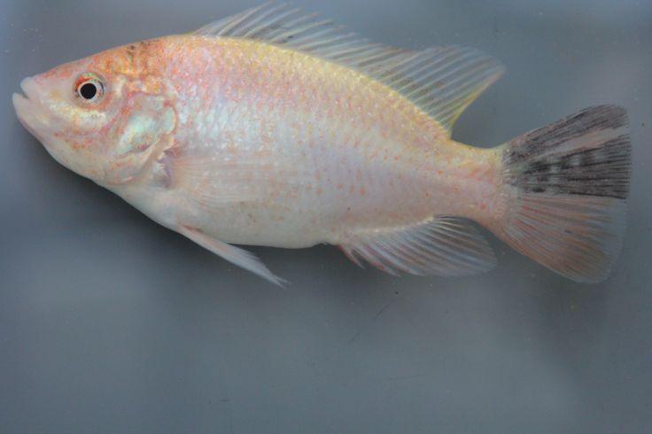 Red nile tilapia oreochromis niloticus im aquarium for Tilapia aquarium