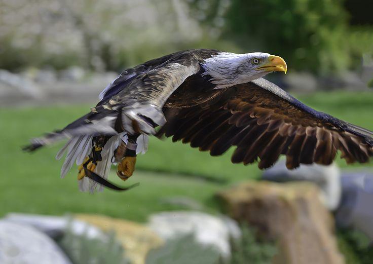 Белоголовый орлан — National Geographic Россия