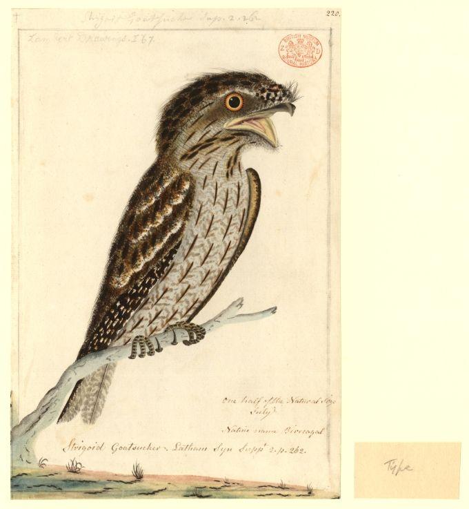 Strigoid Goatsucker, native name Birreagal