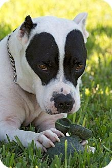 Terrifying! This is Batman- (because naming him SKULL would impede his adoption) http://www.adoptapet.com/pet/8223675-naples-florida-american-pit-bull-terrier-mix