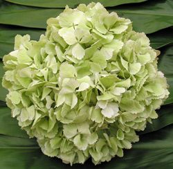 sage green hydrangeas.  Hydrangeas are great bc they are grown all year round in many colors and are really big - don't need too many stems to make a nice bunch of them.
