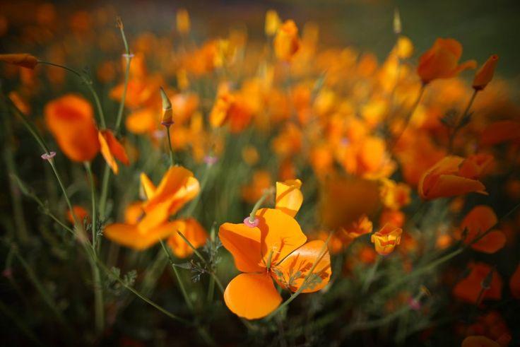 California, sbocciano i fiori nel deserto: magia di colori