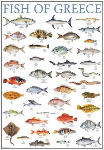 Poster fish of greece greek nature mediterraneo for Lake pontchartrain fish species