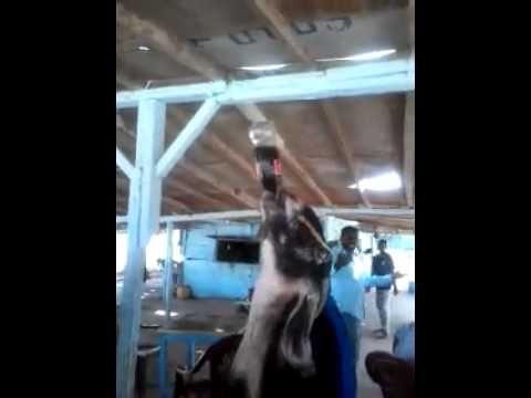Goat a Cola