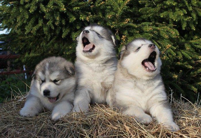 Three Yawning Alaskan Malamute Puppies With White And Light Grey